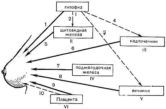 II - щитовидная железа;